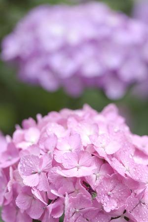 hakusan: Rain hydrangea flowers