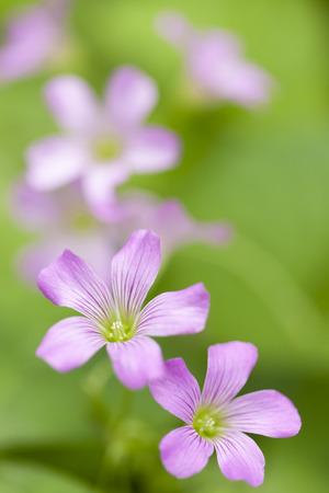 oxalis: Purple oxalis