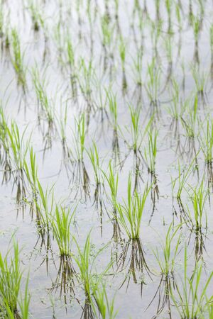 paddy field: Paddy field of early summer Stock Photo