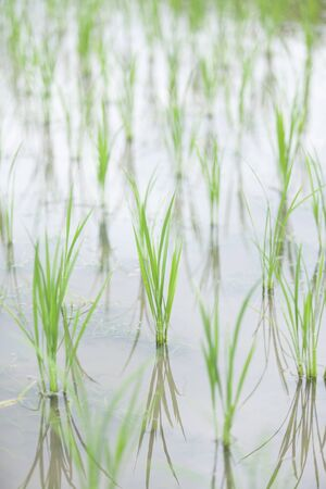 early summer: Paddy field of early summer Stock Photo