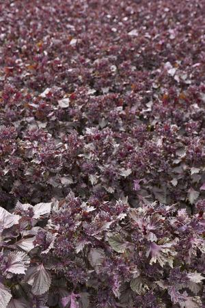 field mint: Mint field