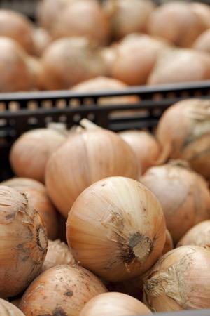 cebollas: Las cebollas cosechadas Foto de archivo