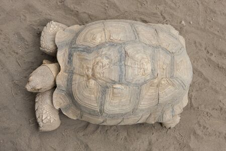 spurred: African spurred tortoise Stock Photo