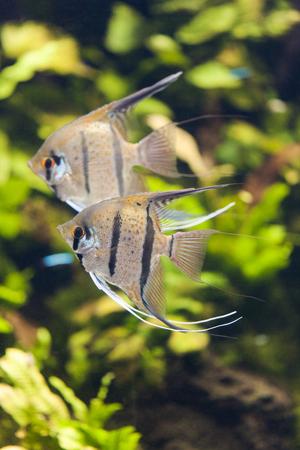 cichlidae: Sukarare-angelfish