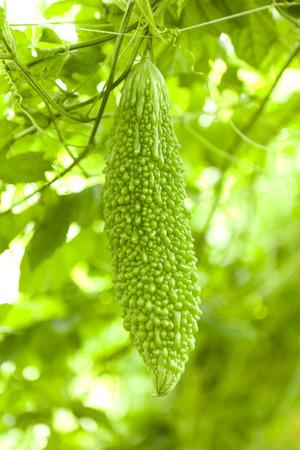 bitter melon: Bitter melon fruit