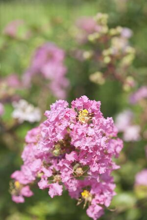 myrtle: Crape Myrtle flowers Stock Photo