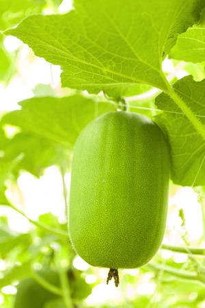 melon field: Winter melon field