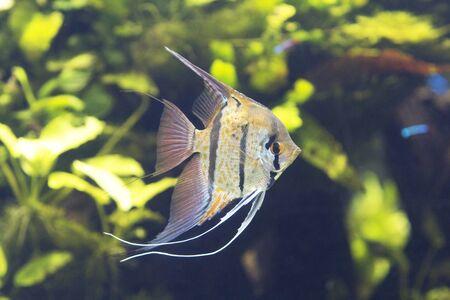 cichlidae: Scalar Les angelfish