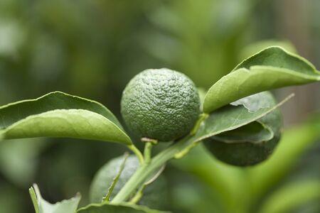 citron: Hana citron fruit