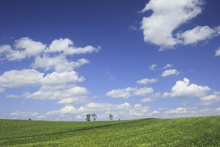 bean family: Adzuki bean field and clouds