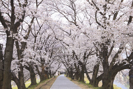 straight path: Cherry blossoms and a blue sky