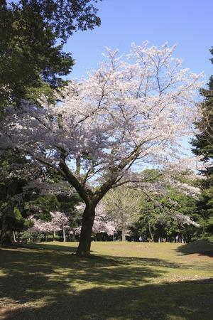 nara: Nara Park Sakura
