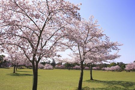 nara: NARA Park cherry blossoms grass