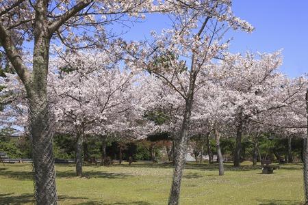 nara park: NARA Park cherry blossoms grass