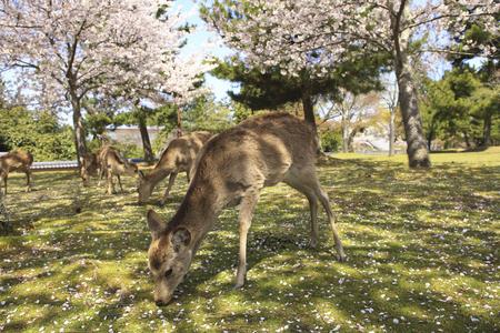 nara park: NARA Park cherry blossoms and deer Stock Photo