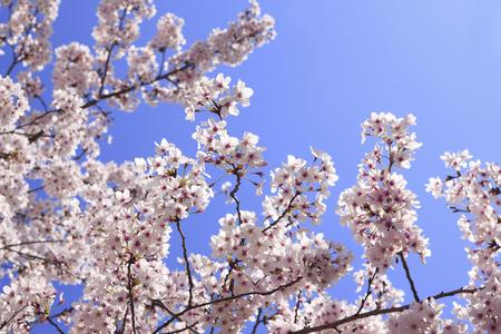 nara park: NARA Park Sakura backgrounds