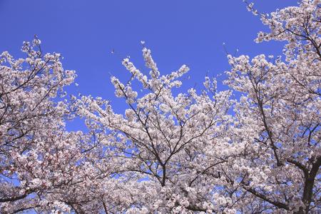 nara: NARA Sakura heijoKyo