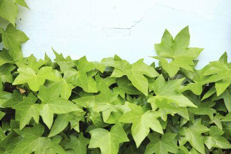 canariensis: Hedera canariensis