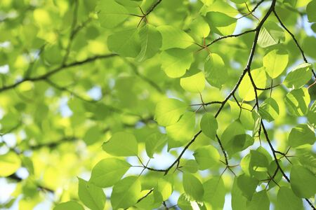 Sunlight and fresh green leaves Stock Photo