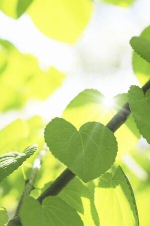Fresh green of the Katsura