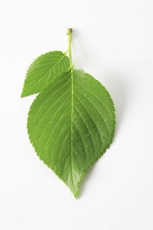 新鮮な緑の葉の白バック