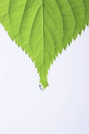 Fresh green leaves and water drop