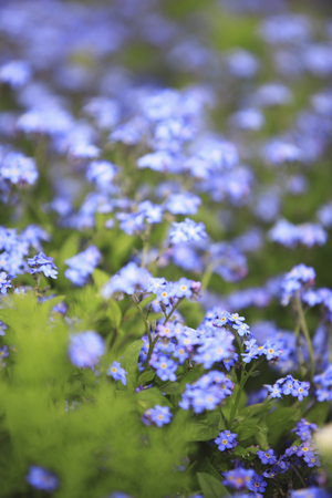 forget me not: Forget me not Stock Photo