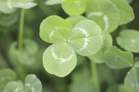 trifolium repens: Clover