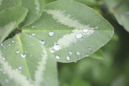 trifolium repens: Clover and drops of water