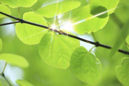 scintillation: Katsura sparkling fresh