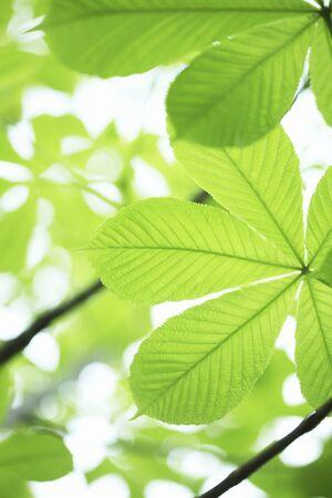 buckeye: Fresh green Buckeye leaf