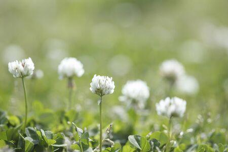 Sirotsme grass photo