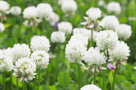 trifolium repens: Sirotsme grass