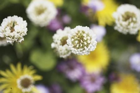 trifolium repens: Meadow Flowers