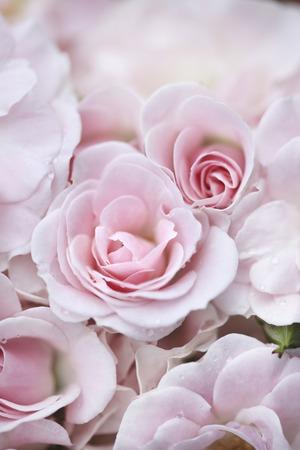 Pink Roses Stockfoto