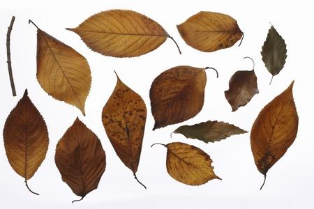 hojas secas: Material de hojas muertas