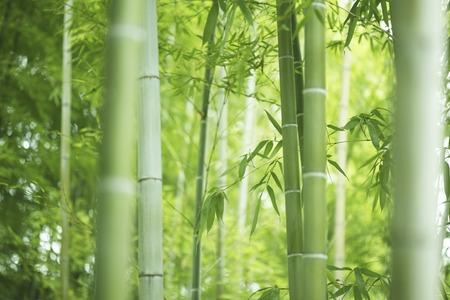 Foresta di bambù Archivio Fotografico - 40075902