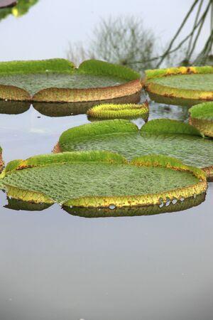 royal: Royal water lily