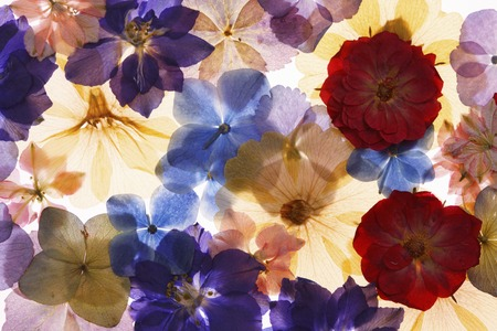 flores secas: Flores prensadas