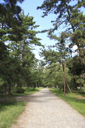 pine trees: Pine trees road