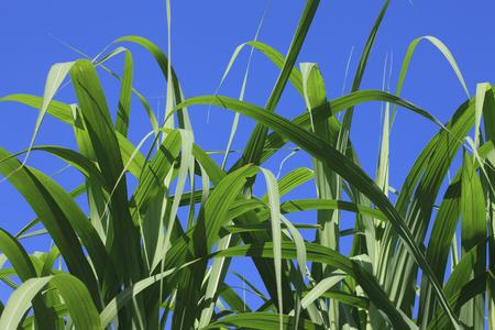 sugar cane: Sugar cane Stock Photo