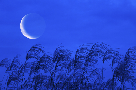 crescent moon: Crescent moon and pampas grass Stock Photo
