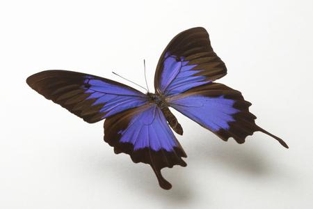 Papillon Bleu Banque d'images - 49437713