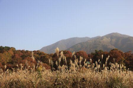 silver maple: Hiruzen and Miscanthus sinensis Stock Photo