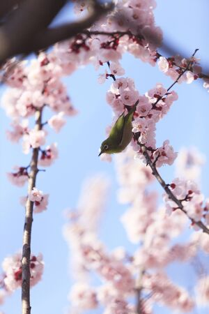 organisms: Apricot and Japanese whiteeye Stock Photo