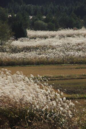sanyo: Japanese pampas grass