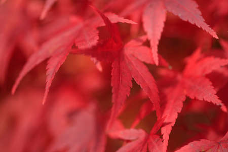 sanyo: Okutsu Valley autumn leaves Stock Photo