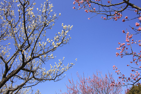 plum grove: Plum trees and blue sky