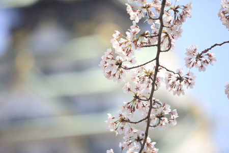 osaka castle: Osaka Castle and cherry blossoms
