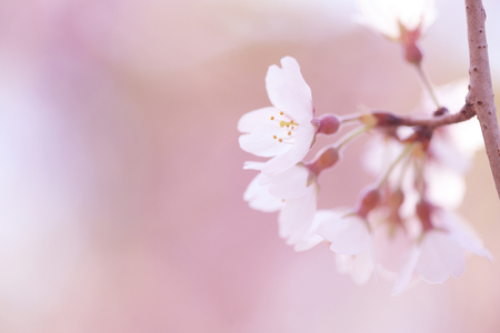 weeping: Weeping cherry Stock Photo